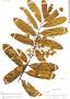 Virola pavonis (A. DC.) A. C. Sm., Peru, G. Klug 3085, F