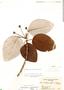 Coussapoa villosa Poepp. & Endl., Panama, R. H. Woodworth 660, F