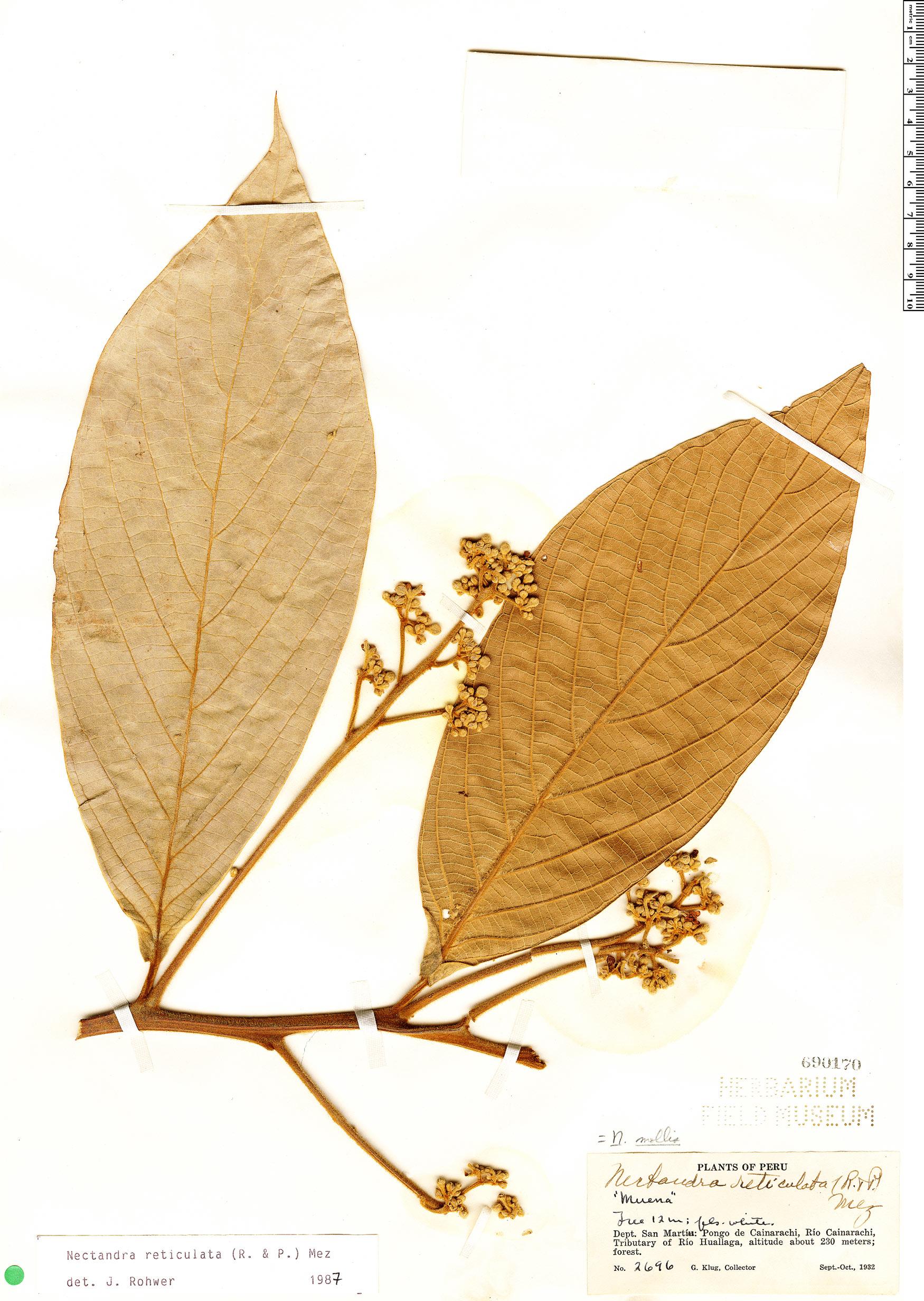 Specimen: Nectandra reticulata