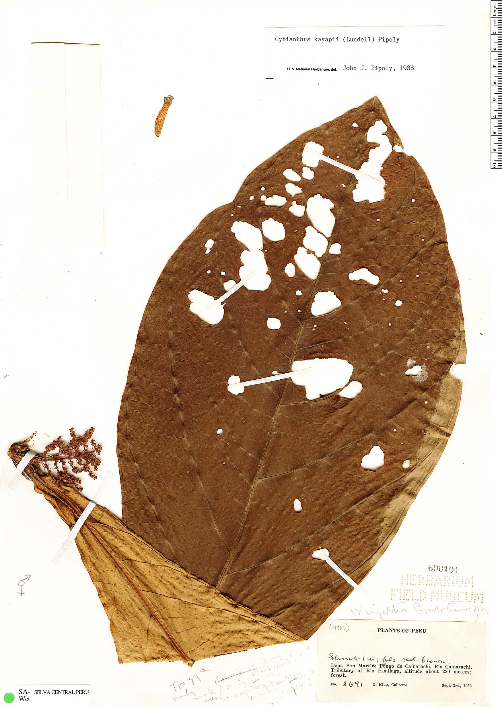 Specimen: Cybianthus kayapii
