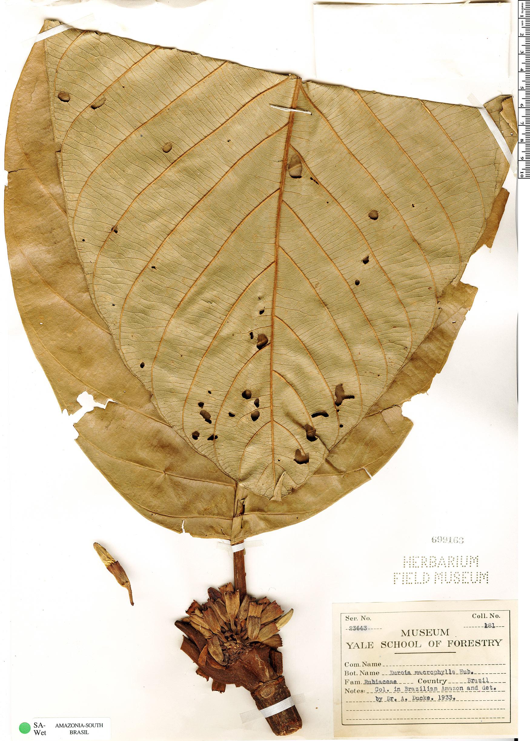 Specimen: Duroia macrophylla