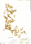 Schwackaea cupheoides (Benth.) Cogn., Panama, O. Shattuck 485, F