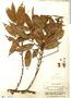 Guatteria paraensis R. E. Fr., Brazil, R. de Lemos Fróes 1753, F