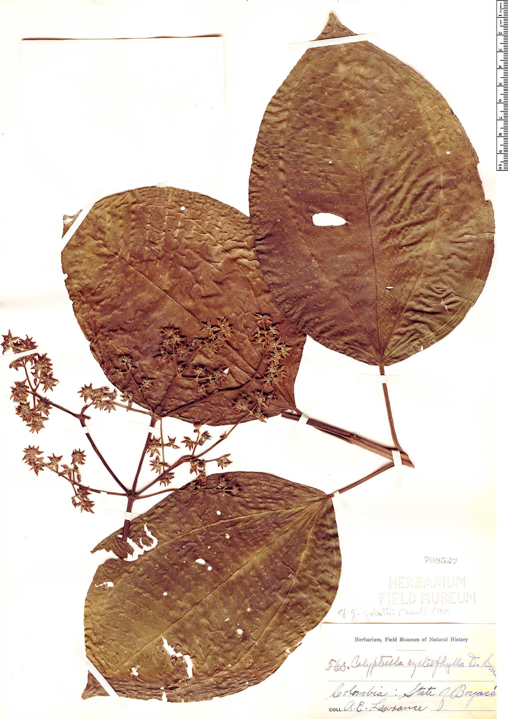 Specimen: Graffenrieda galeottii