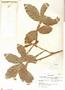 Paullinia sessiliflora, Mexico, Y. Mexia 1883, F