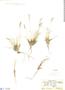 Deyeuxia curvula image