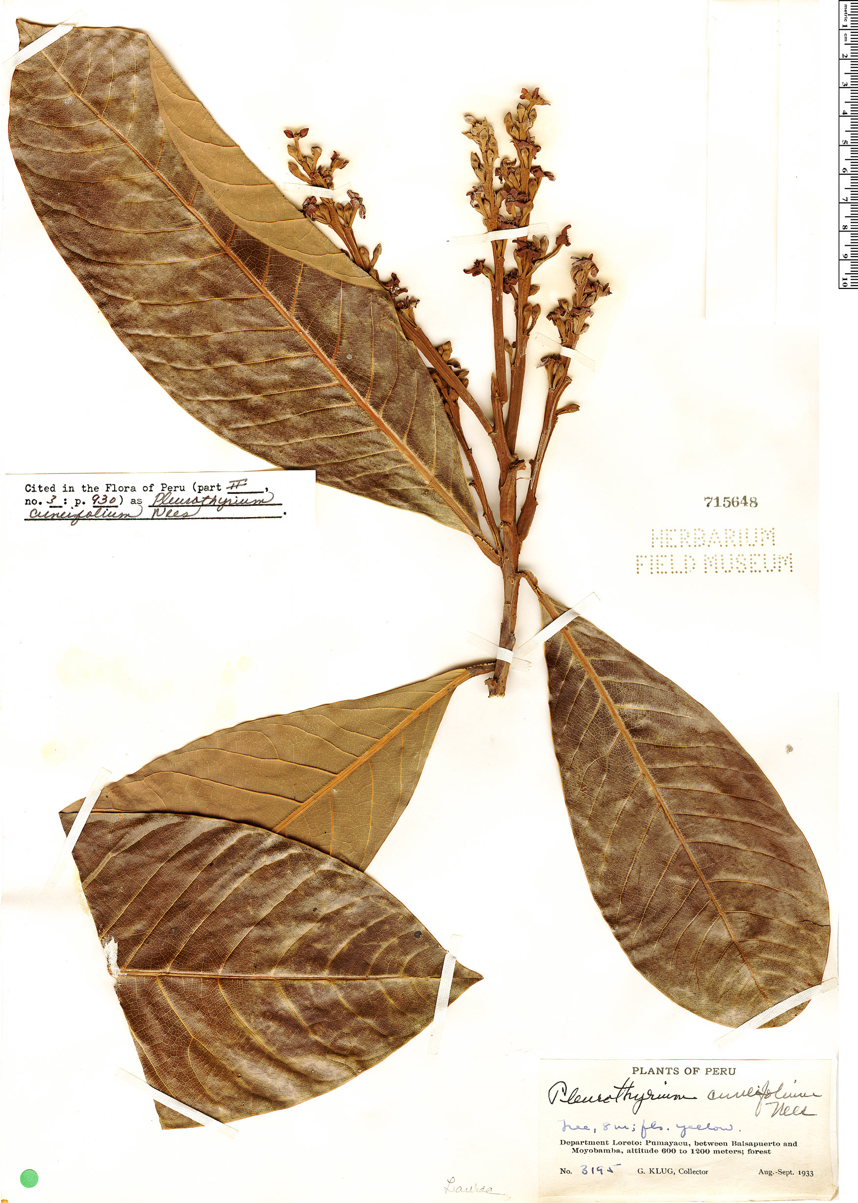 Specimen: Pleurothyrium cuneifolium