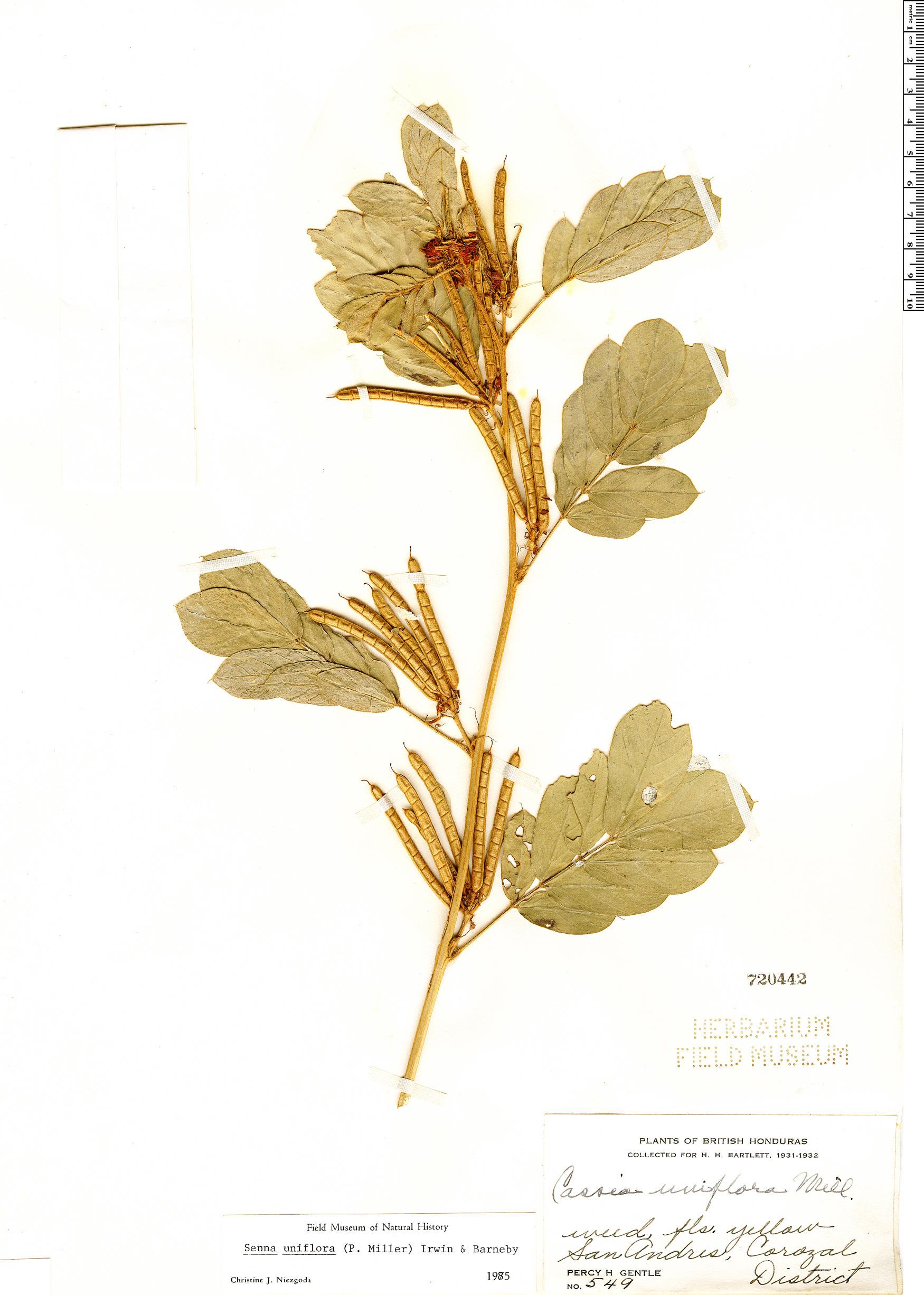 Senna uniflora image
