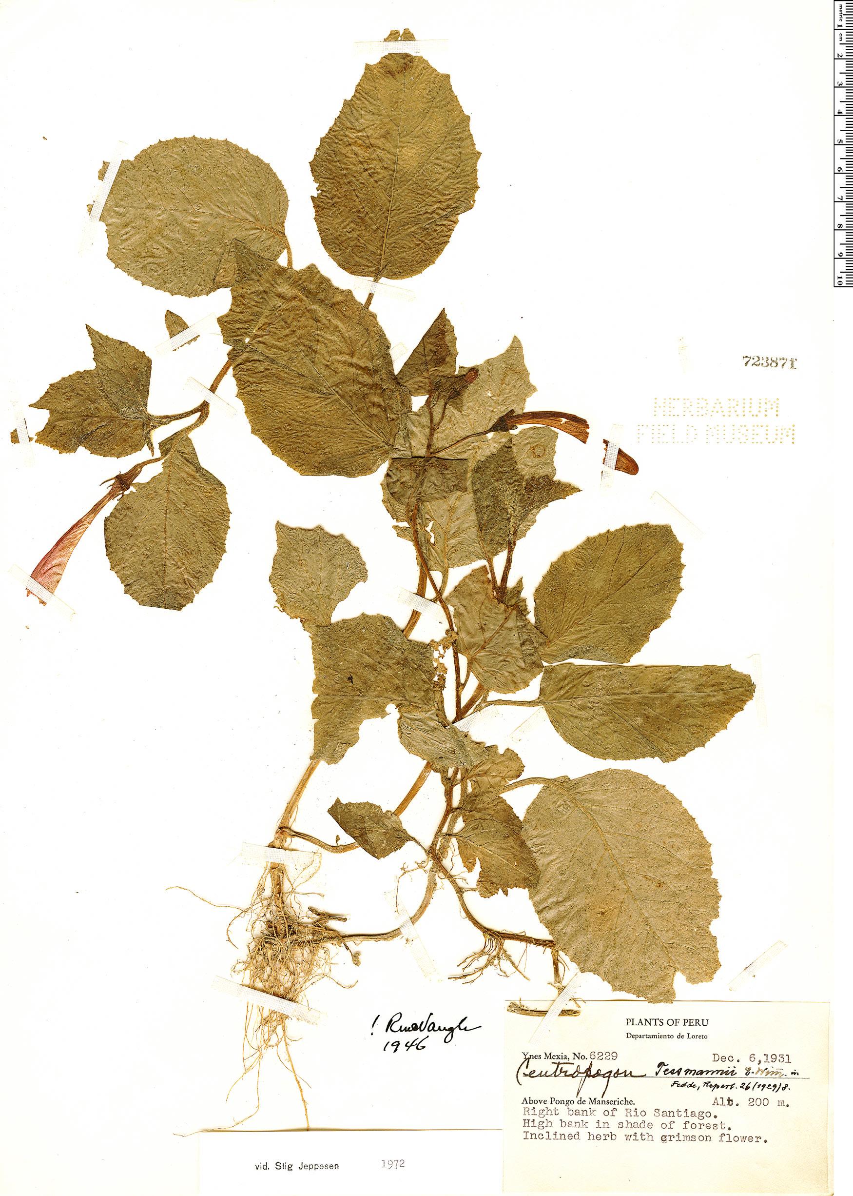 Specimen: Centropogon tessmannii