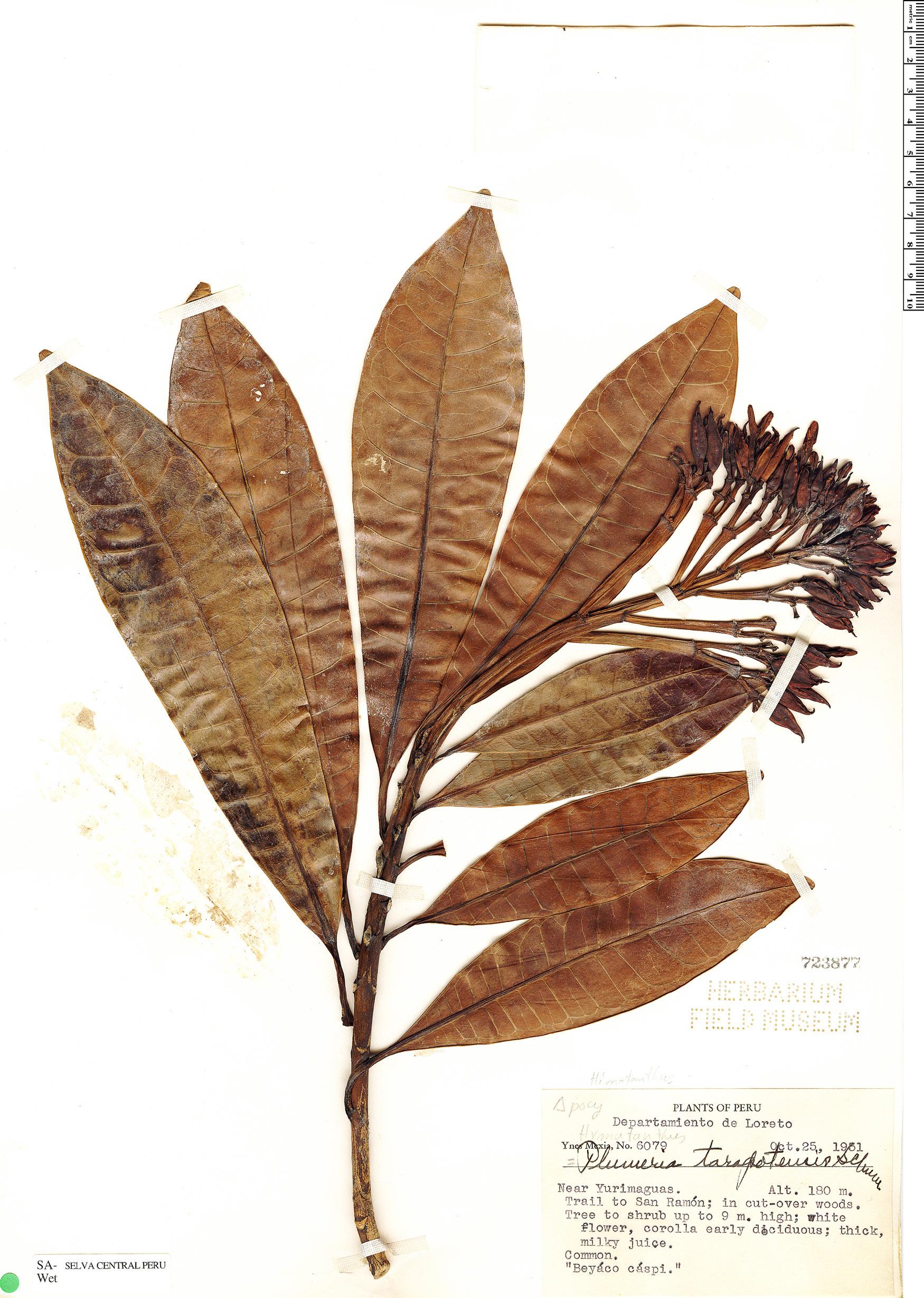 Specimen: Himatanthus tarapotensis