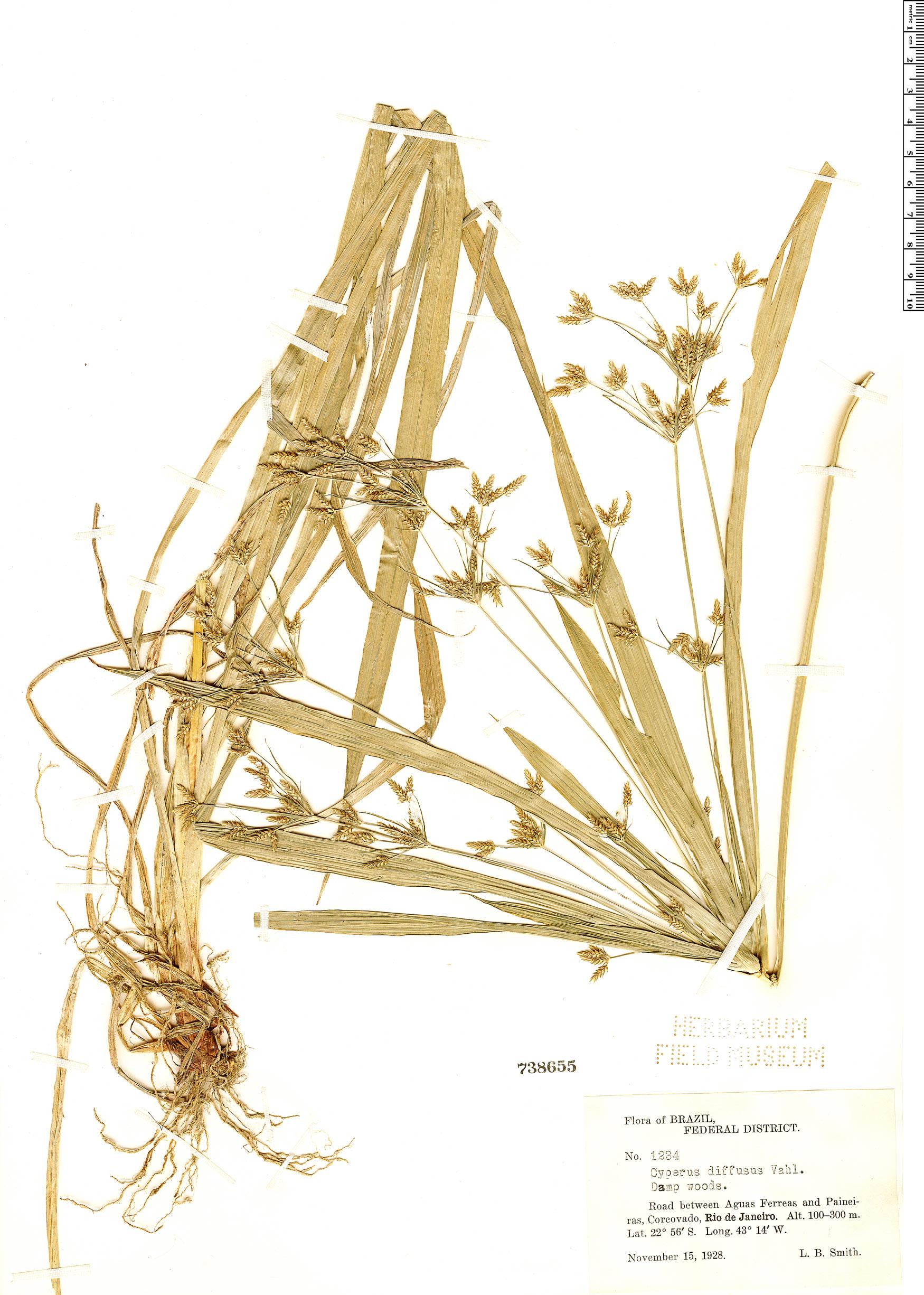Specimen: Cyperus laxus