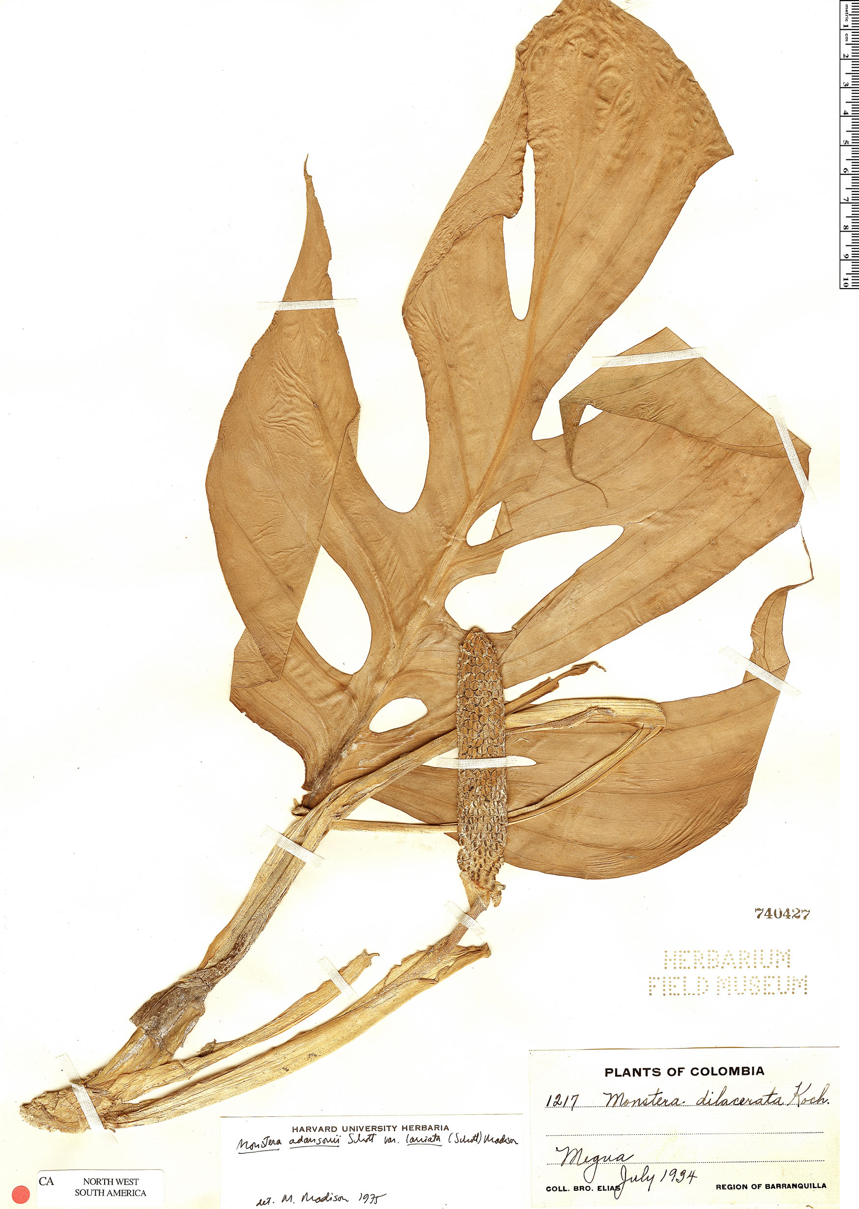 Specimen: Monstera adansonii