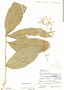 Petrea volubilis L., Panama, G. Proctor 234, F