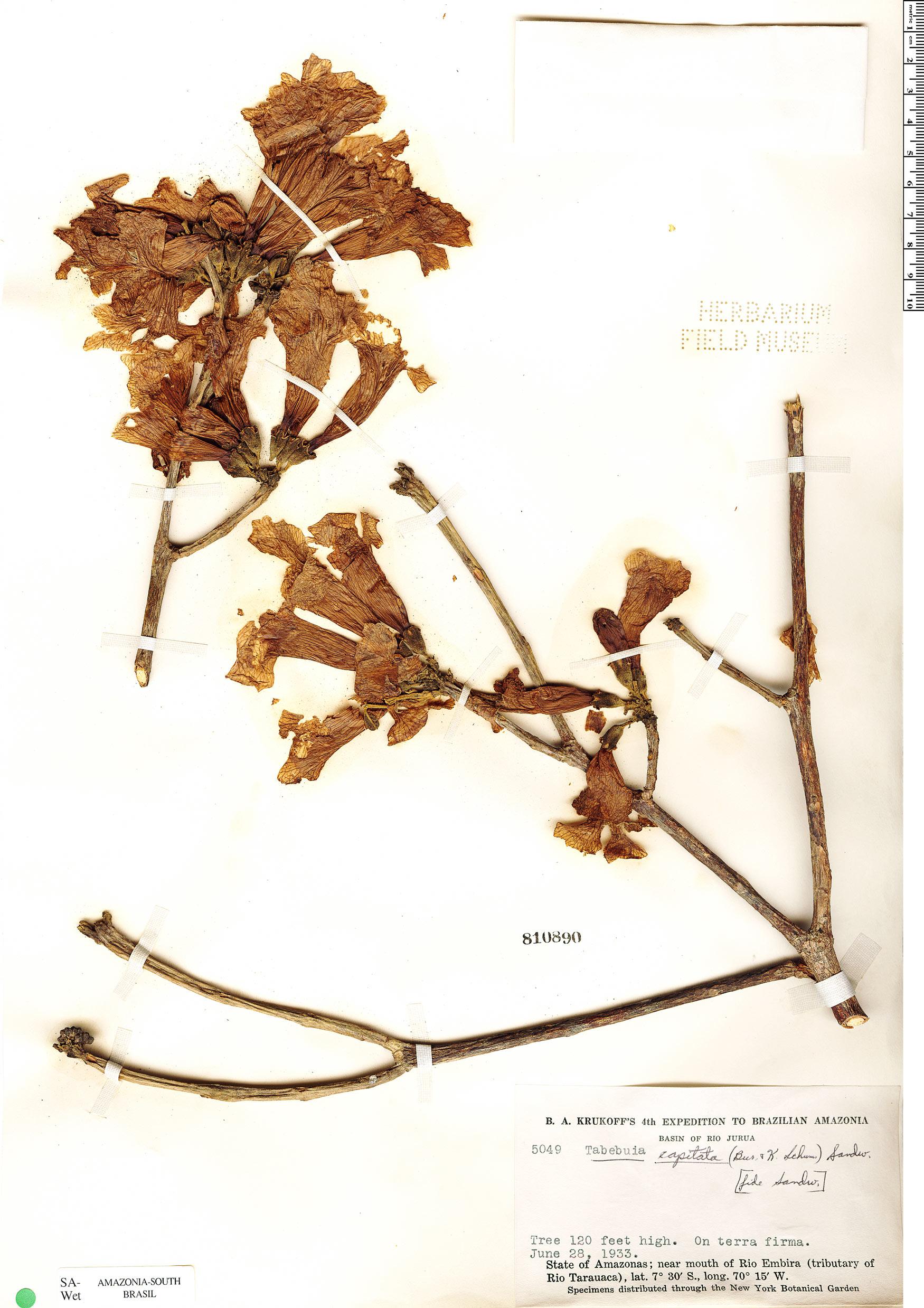 Specimen: Handroanthus capitatus