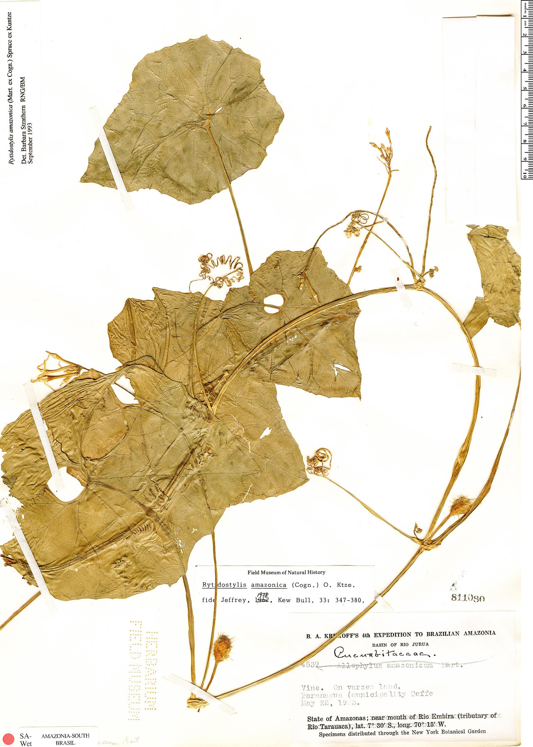 Specimen: Rytidostylis amazonica