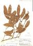 Naucleopsis oblongifolia, Brazil, B. A. Krukoff 4969, F