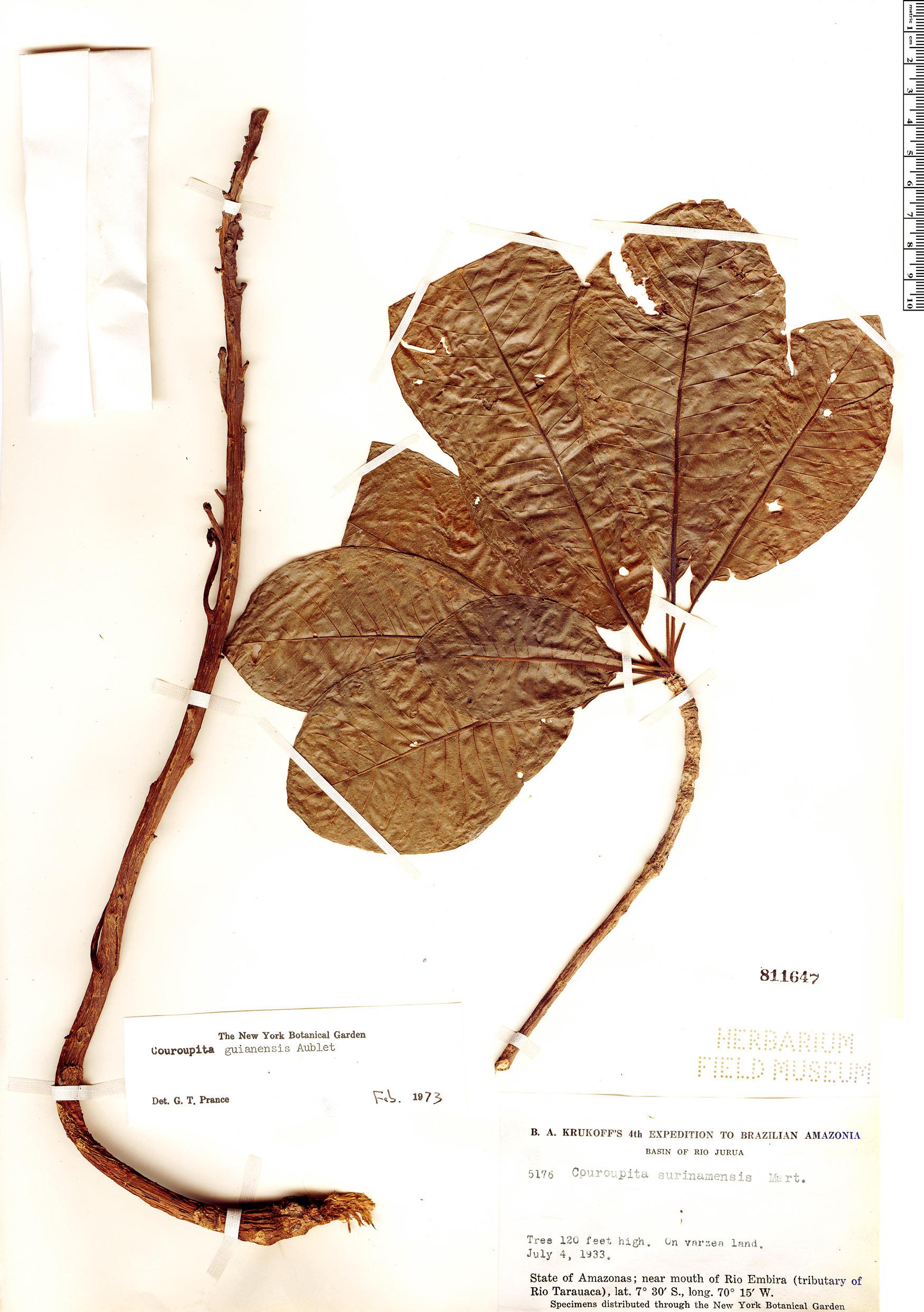 Specimen: Couroupita guianensis