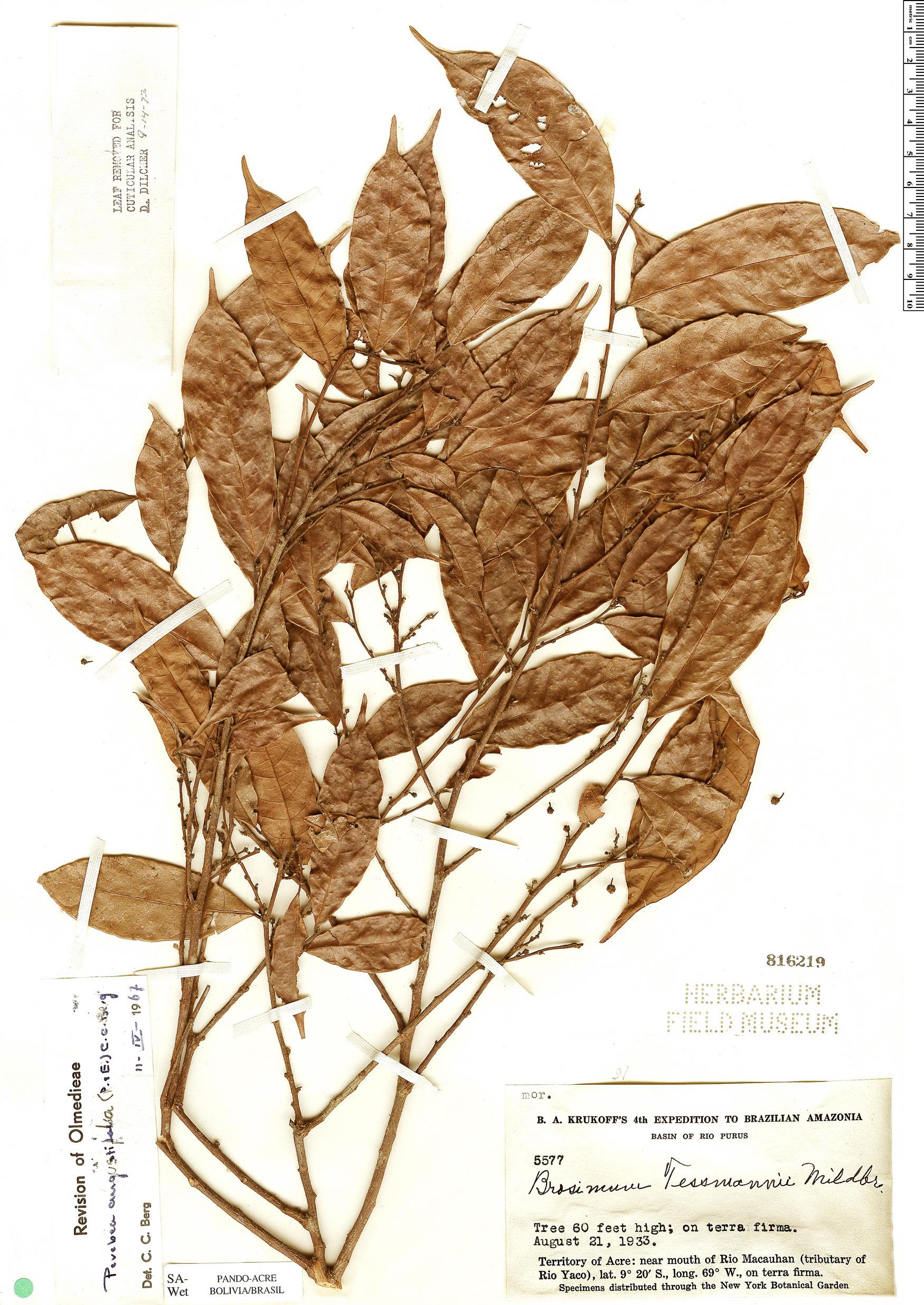 Specimen: Perebea angustifolia