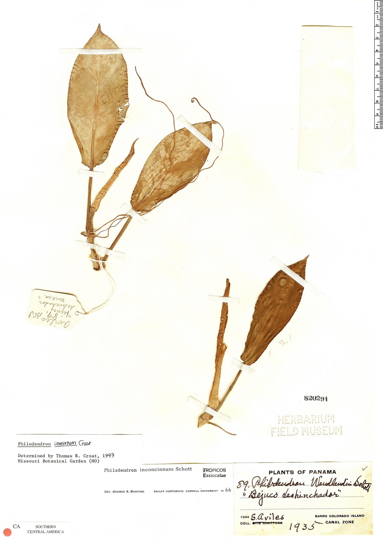 Specimen: Philodendron immixtum