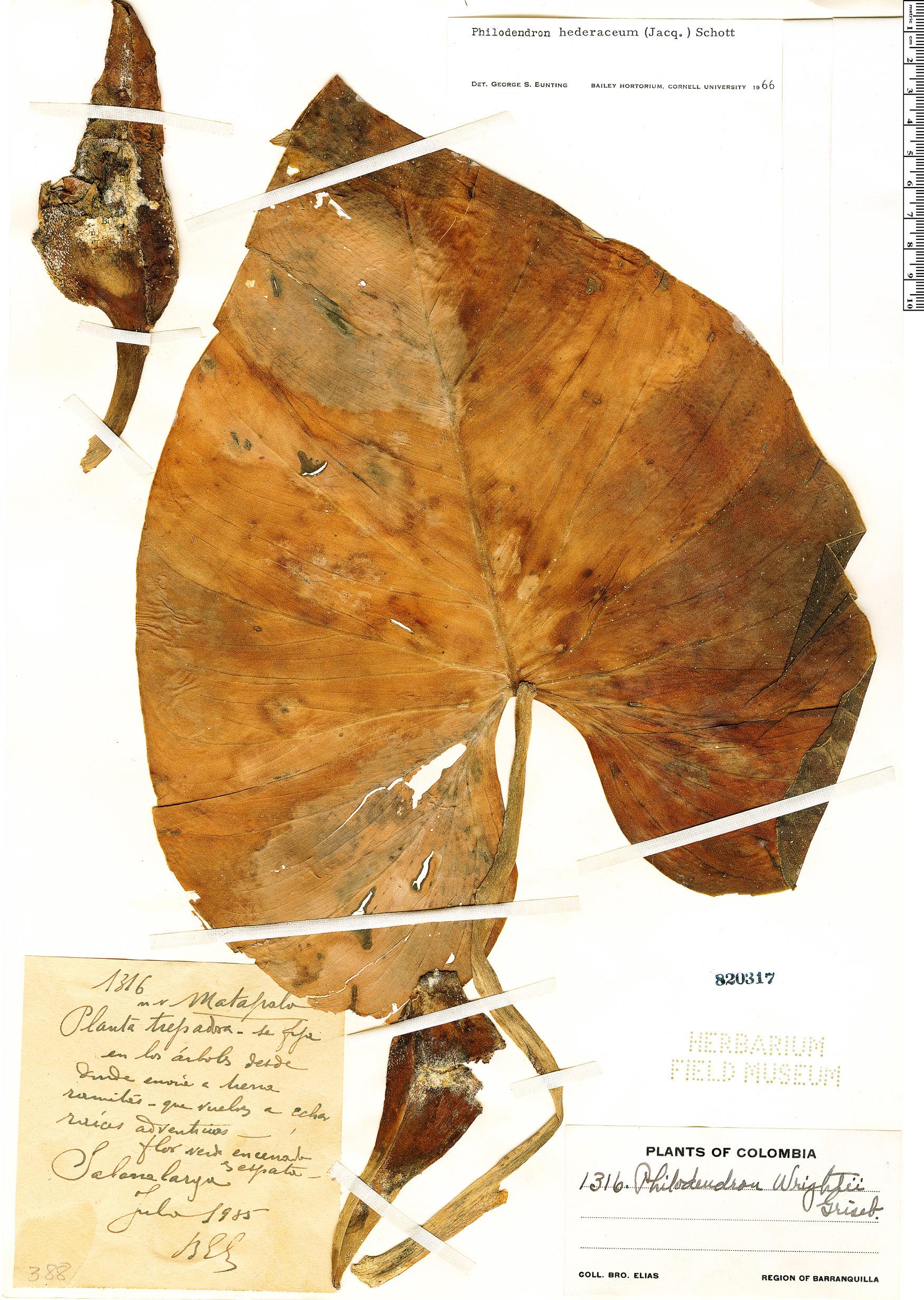 Specimen: Philodendron hederaceum