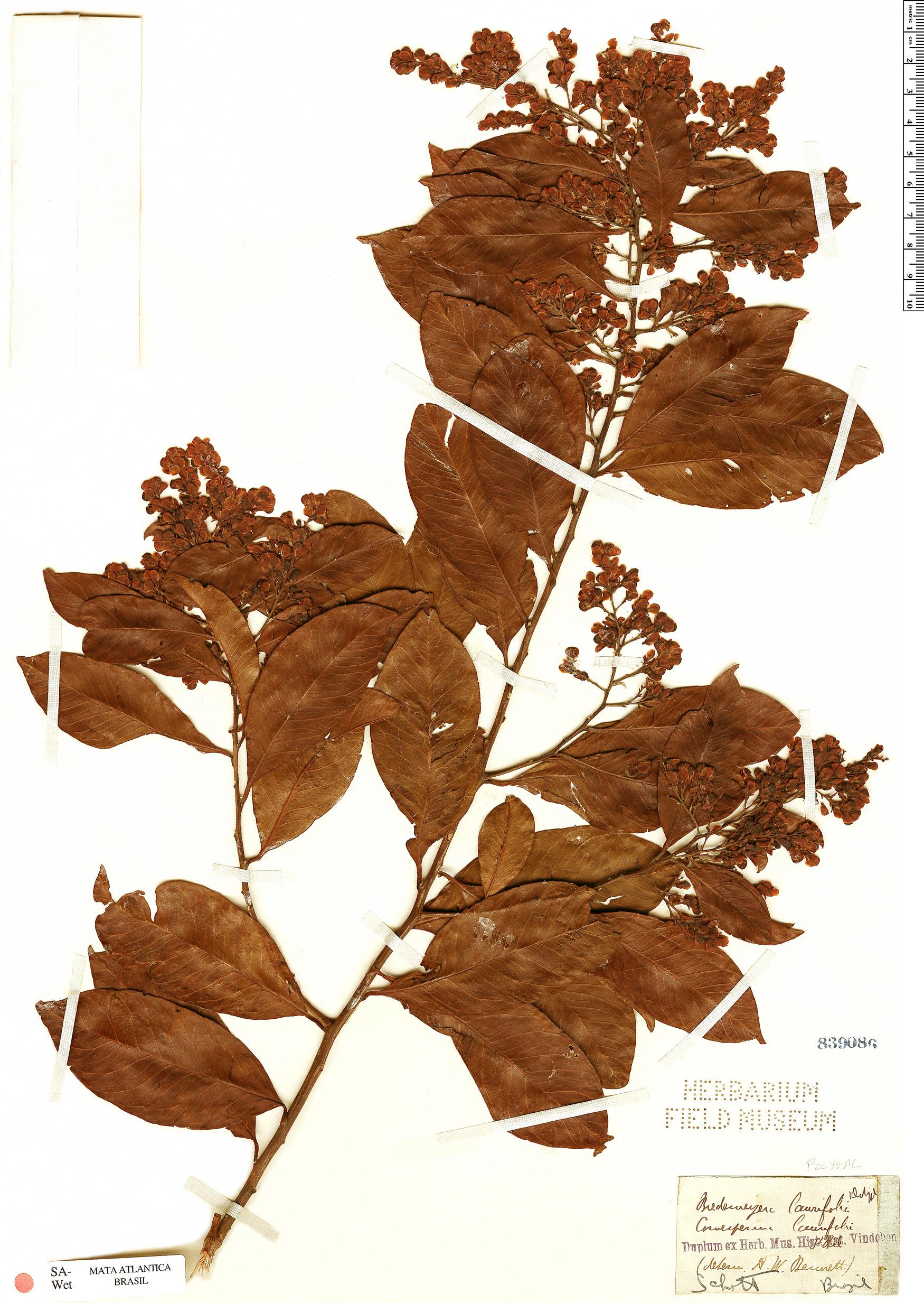 Specimen: Bredemeyera laurifolia