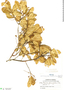 Myrcia prunifolia DC., Brazil, B. E. Dahlgren 926, F