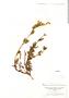 Salvia integrifolia Ruíz & Pav., PERU, H. Ruíz L. s.n., F