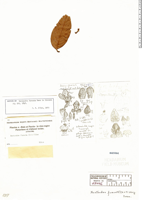 Specimen: Nectandra furcata