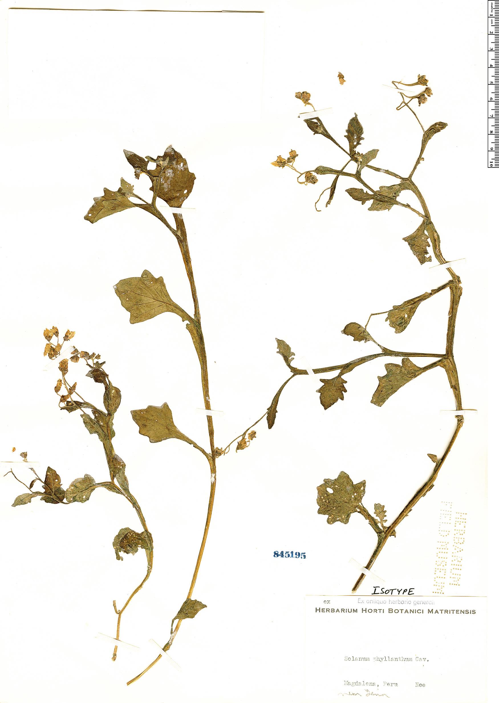 Specimen: Solanum montanum