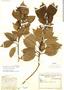Ilex costaricensis Donn. Sm., COSTA RICA, A. M. Brenes 4364, F
