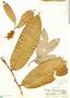 Couepia chrysocalyx image