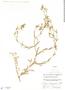 Cerastium brachypodum (Engelm. ex A. Gray) B. L. Rob., Mexico, D. H. LeSueur 624, F