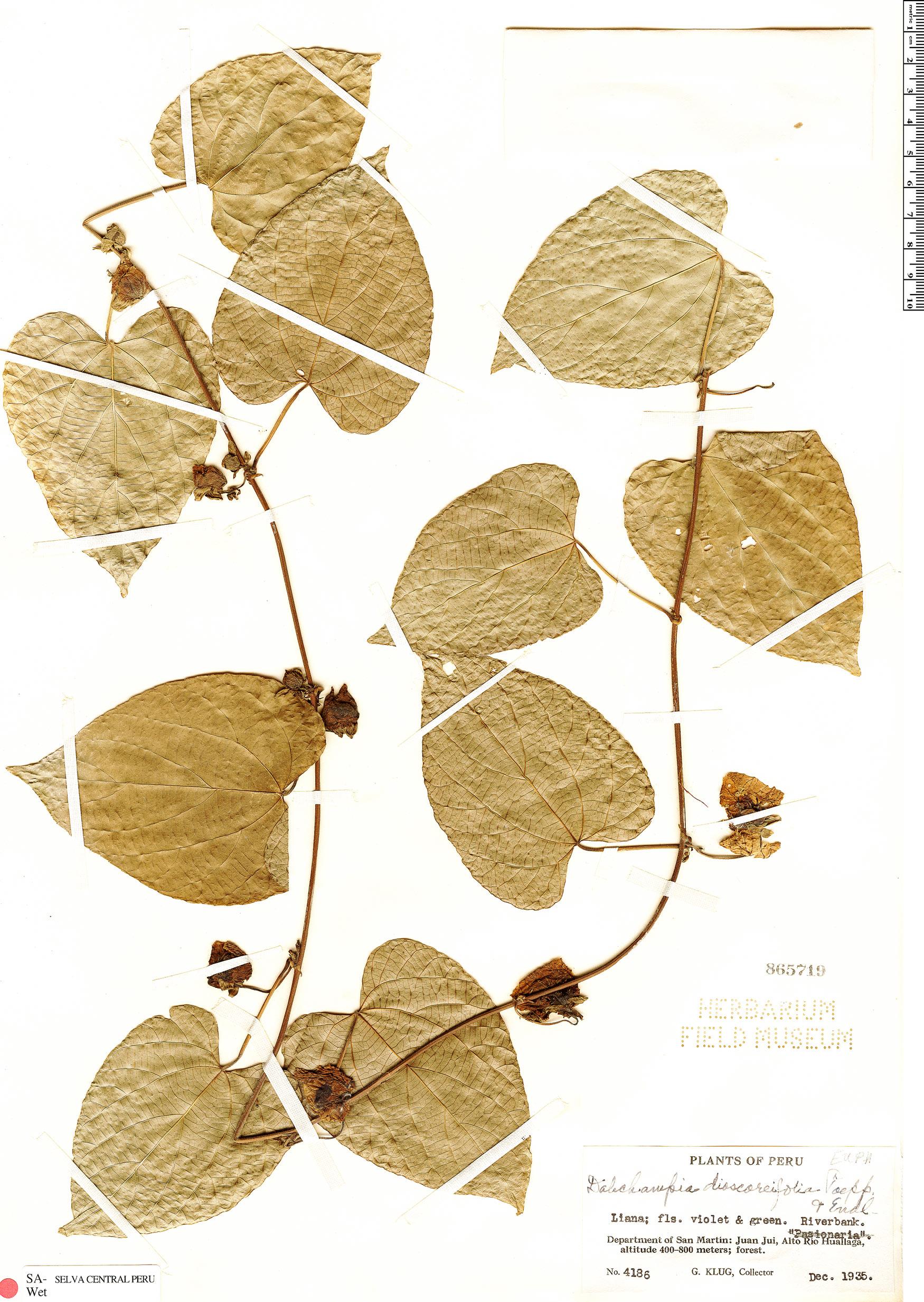 Specimen: Dalechampia dioscoreifolia
