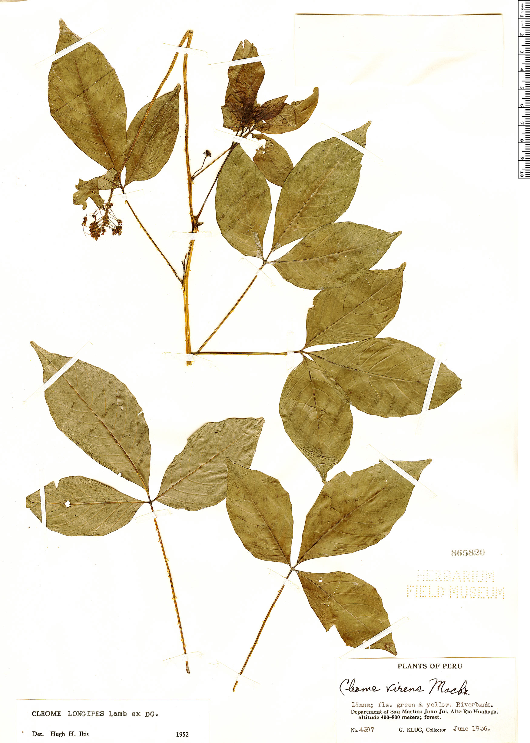 Espécimen: Cleome longipes