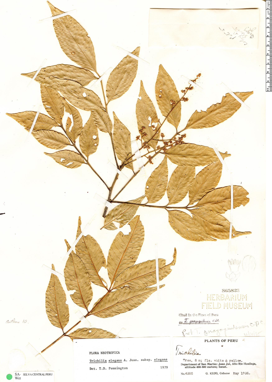 Specimen: Trichilia elegans