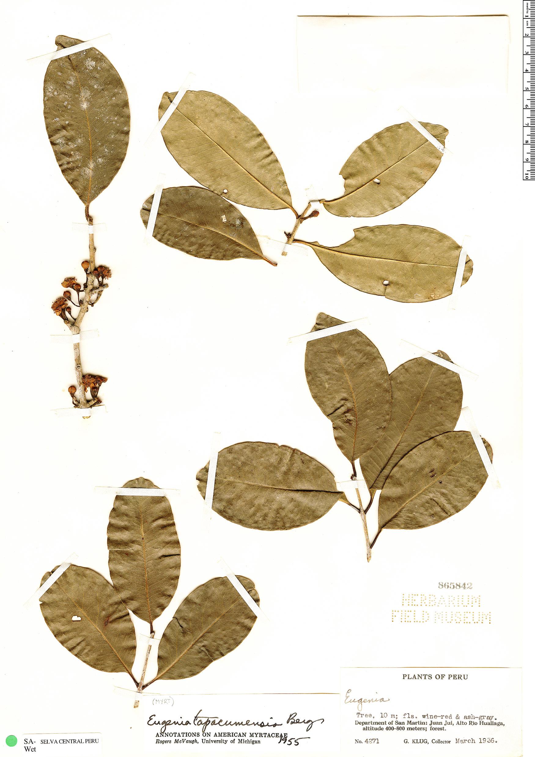 Specimen: Eugenia tapacumensis