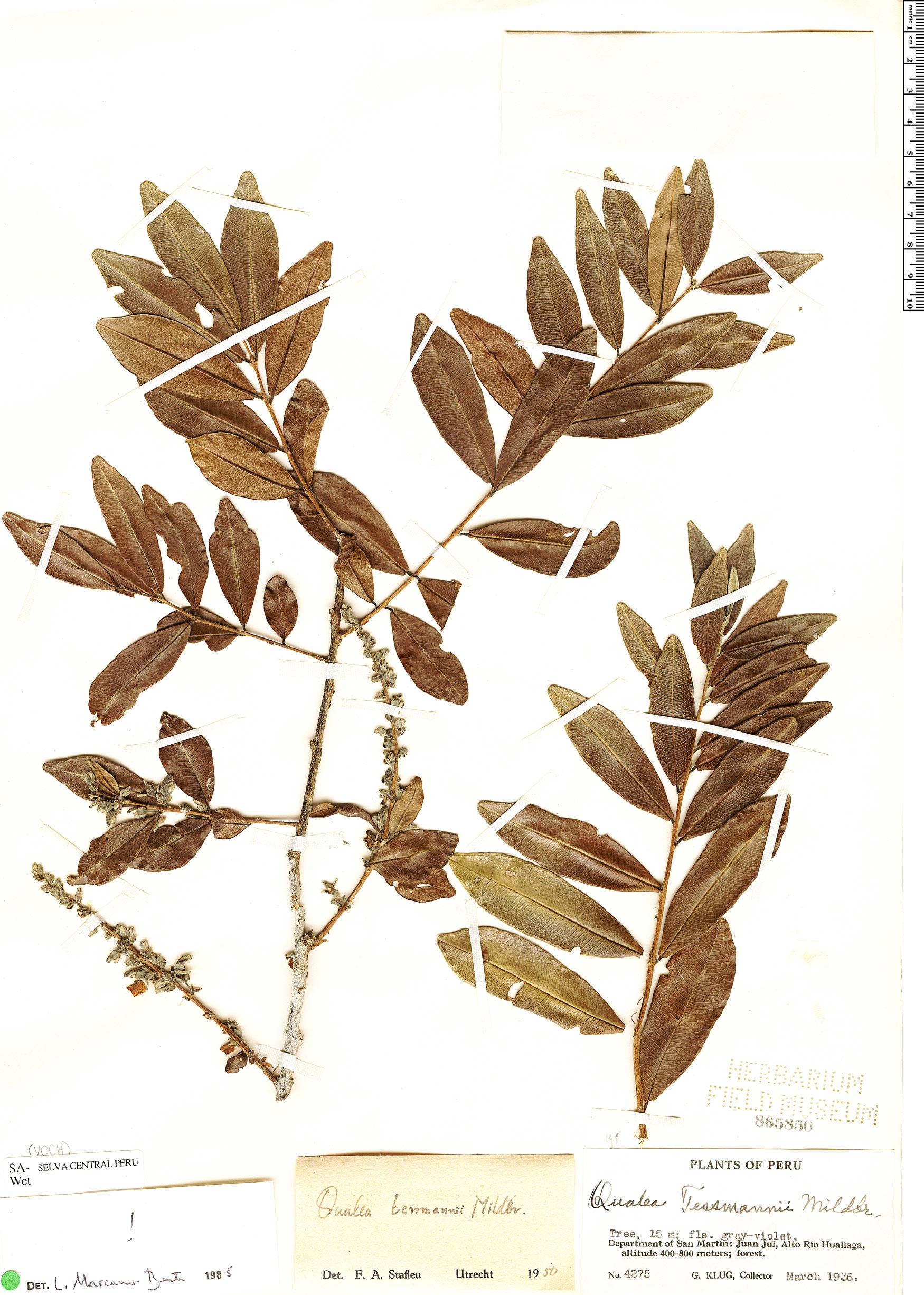 Espécimen: Qualea tessmannii