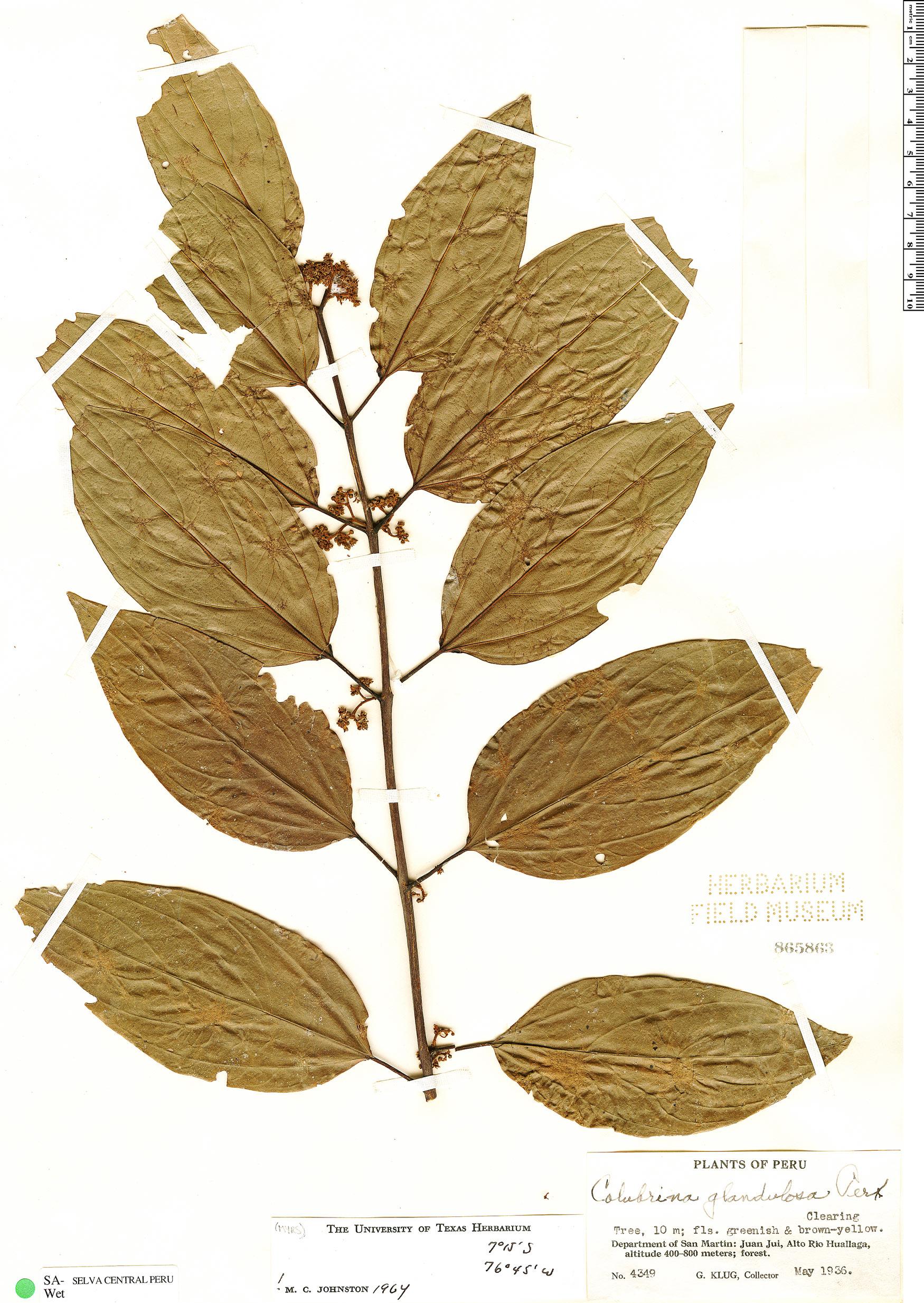 Specimen: Colubrina glandulosa