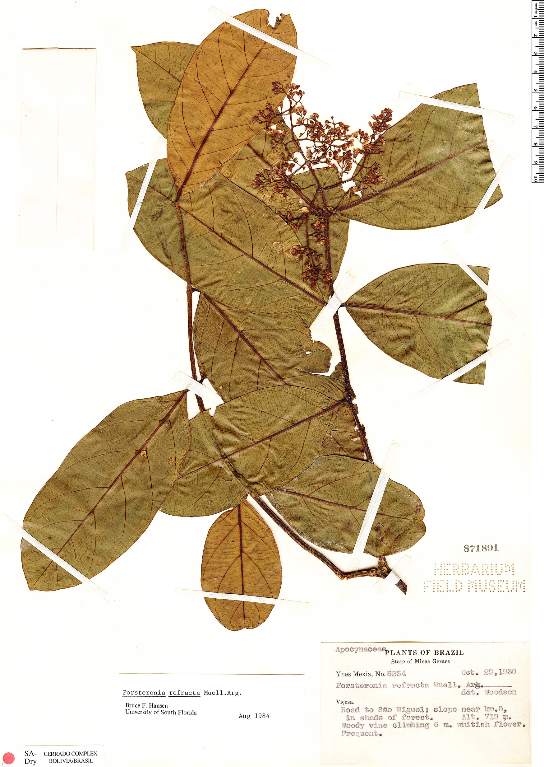 Specimen: Forsteronia refracta