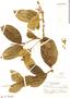 Prestonia solanifolia (Müll. Arg.) Woodson, Brazil, Y. Mexia 5537, F