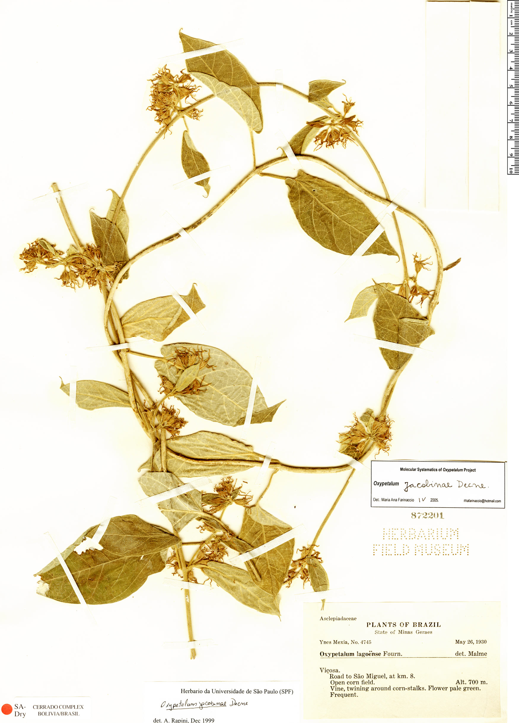 Specimen: Oxypetalum jacobinae