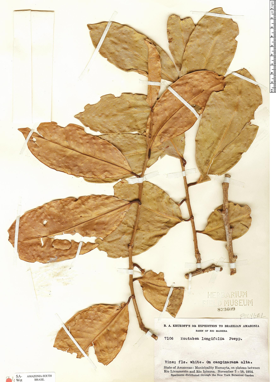 Specimen: Moutabea longifolia