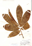 Virola multinervia Ducke, Brazil, B. A. Krukoff 6847, F