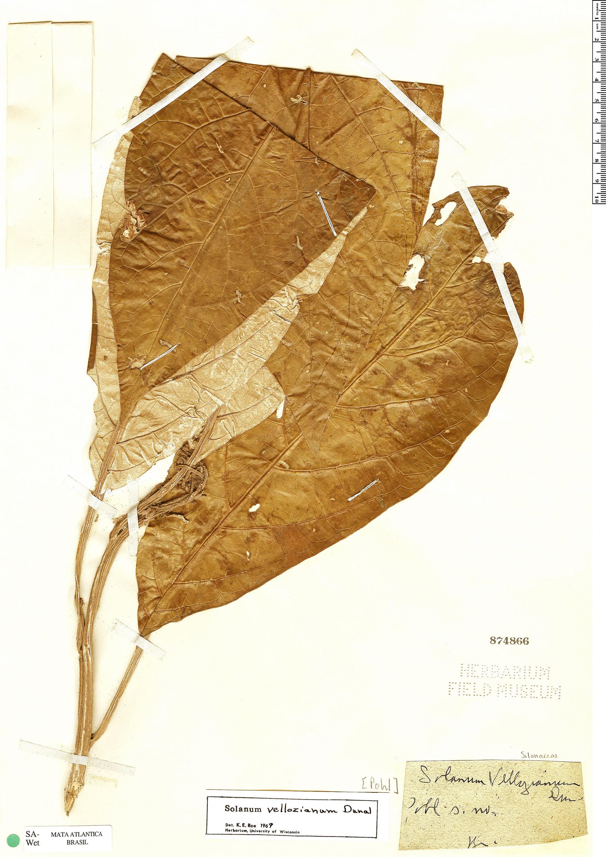 Specimen: Solanum vellozianum