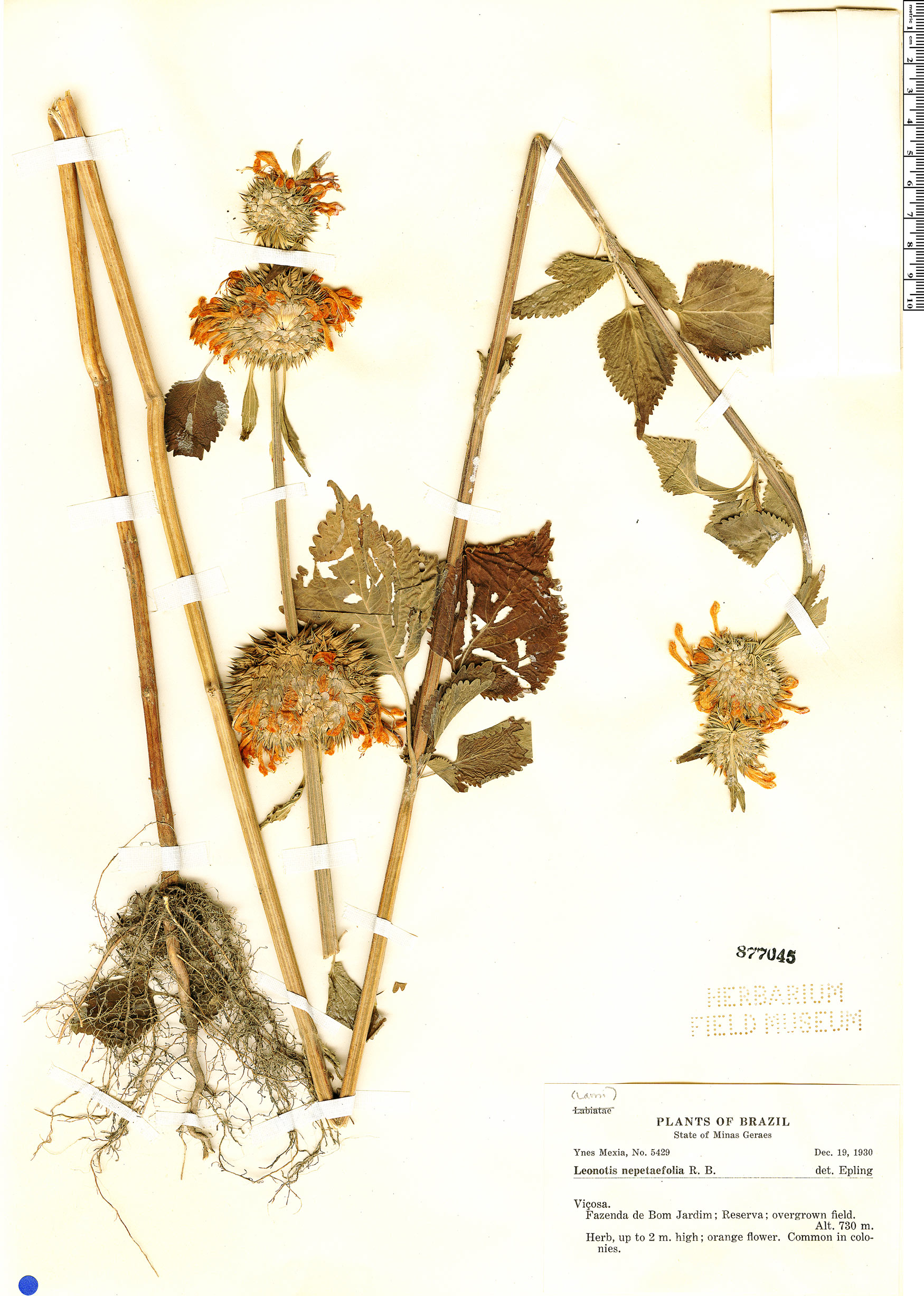 Specimen: Leonotis nepetifolia