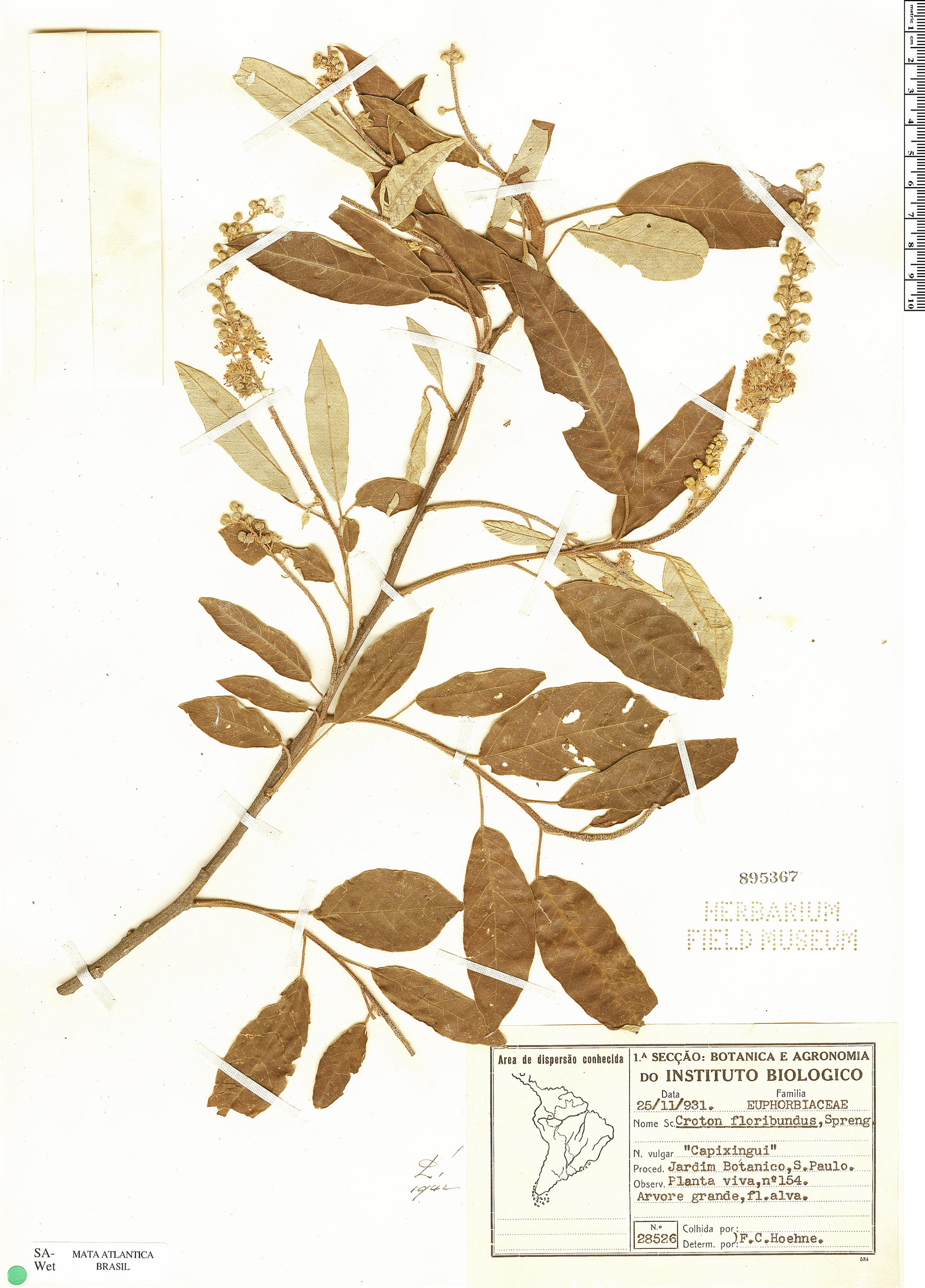 Specimen: Croton floribundus
