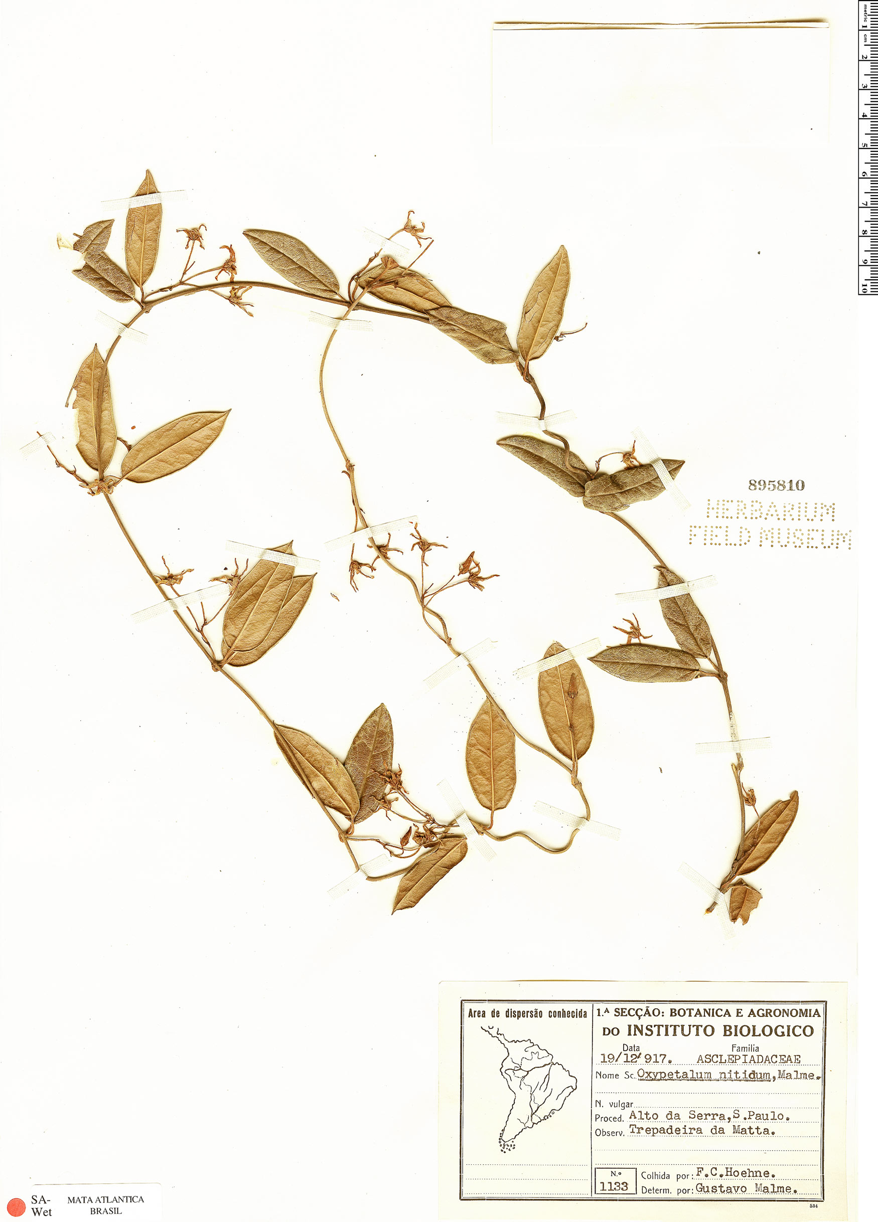 Specimen: Oxypetalum nitidum