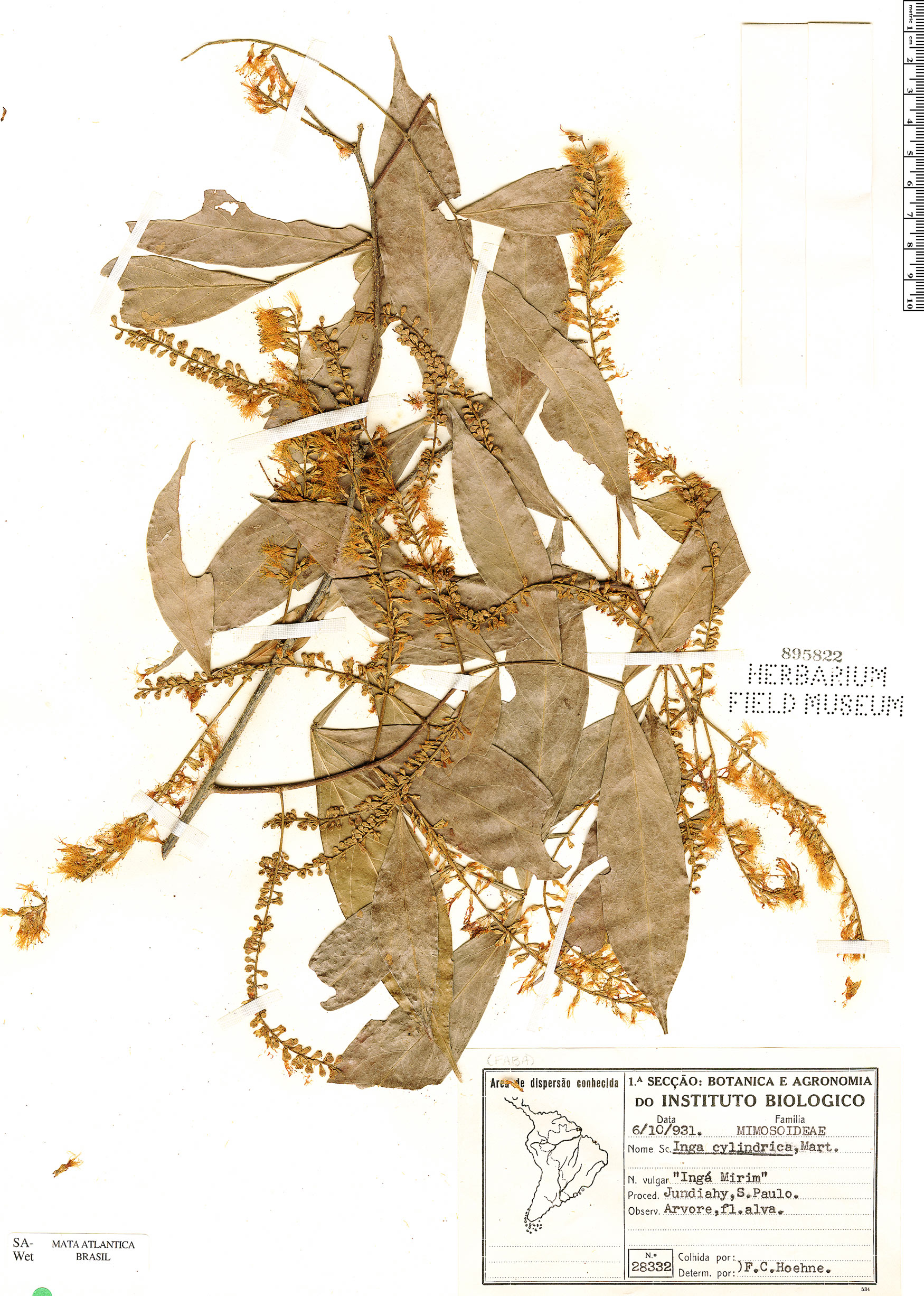Espécime: Inga marginata