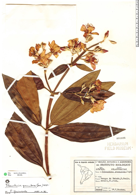 Specimen: Tibouchina granulosa