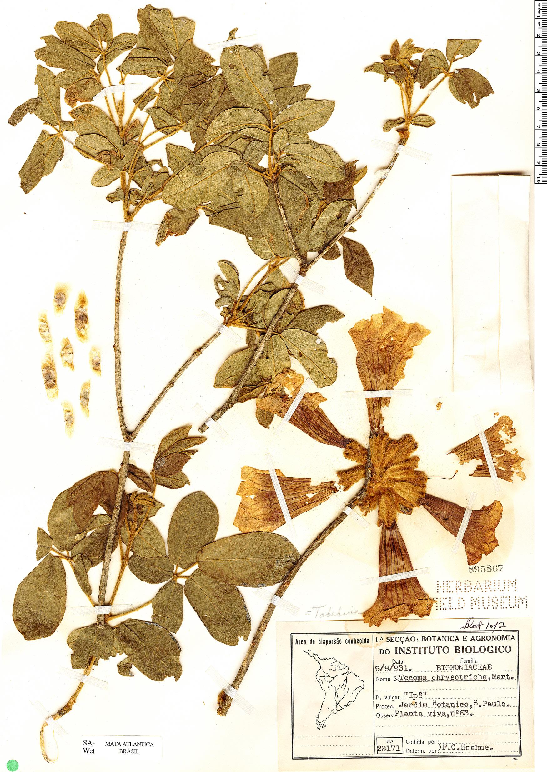 Specimen: Handroanthus chrysotrichus